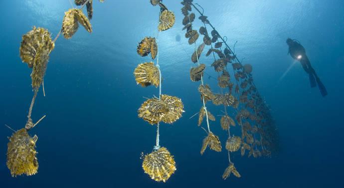 Una 'granja' de perlas cultivadas en las islas Fiji, en el Pacífico Sur.